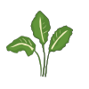 Icon showing Perpetual Spinach (Spinach Beet)